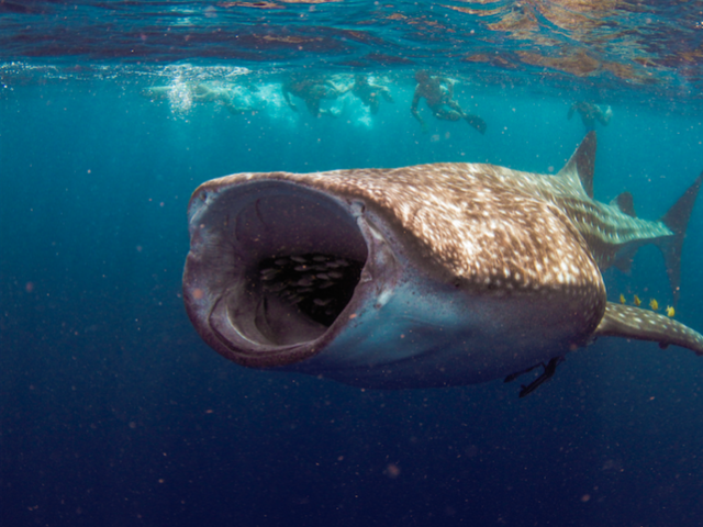 The Whale Shark Whisperer of Cabo