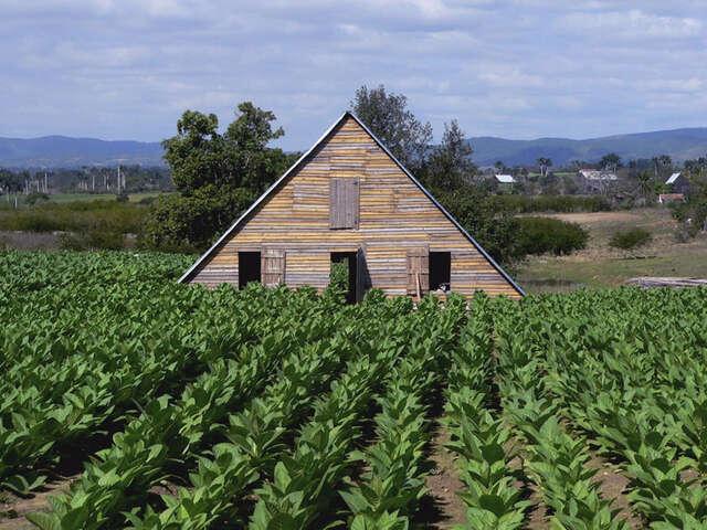 Tobacco Plantation - Pinar