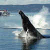 Having A Whale Of A Time In Quebec