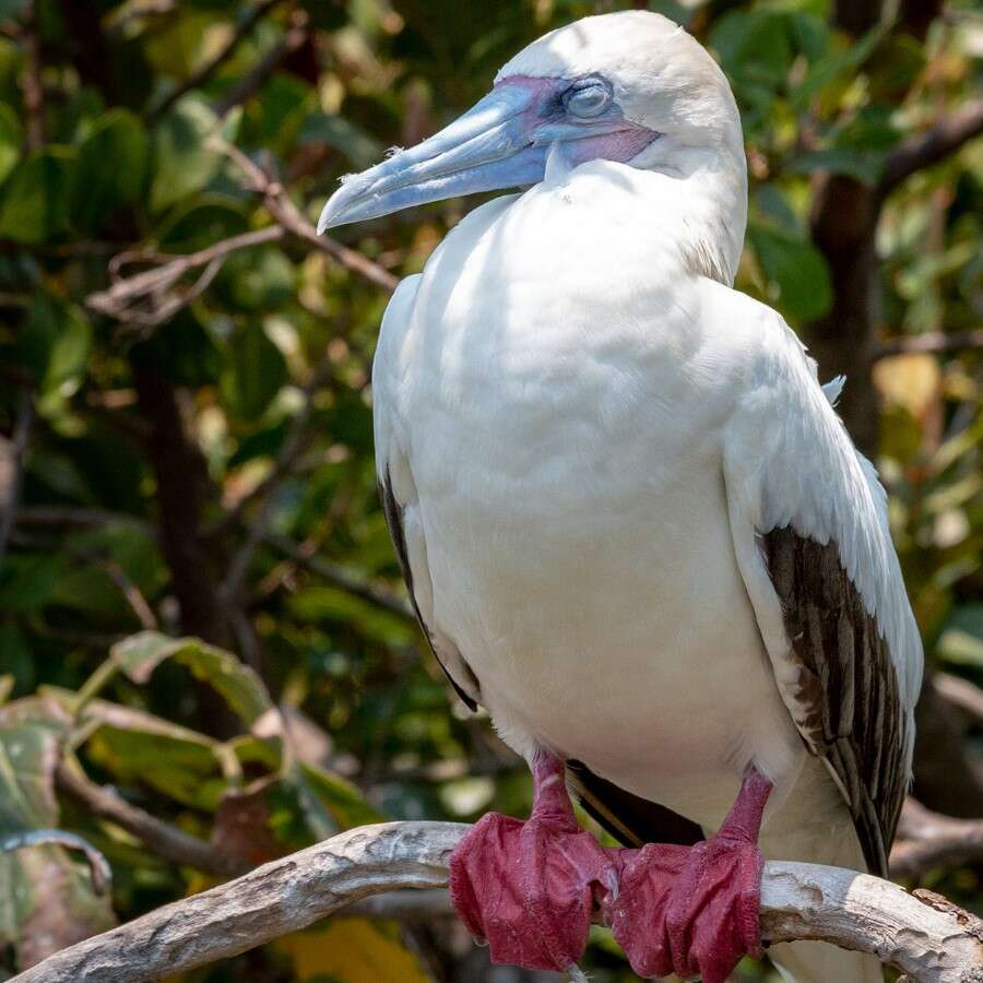 Birds of Beauty at Half Moon Caye - Lighthouse Reef, Belize