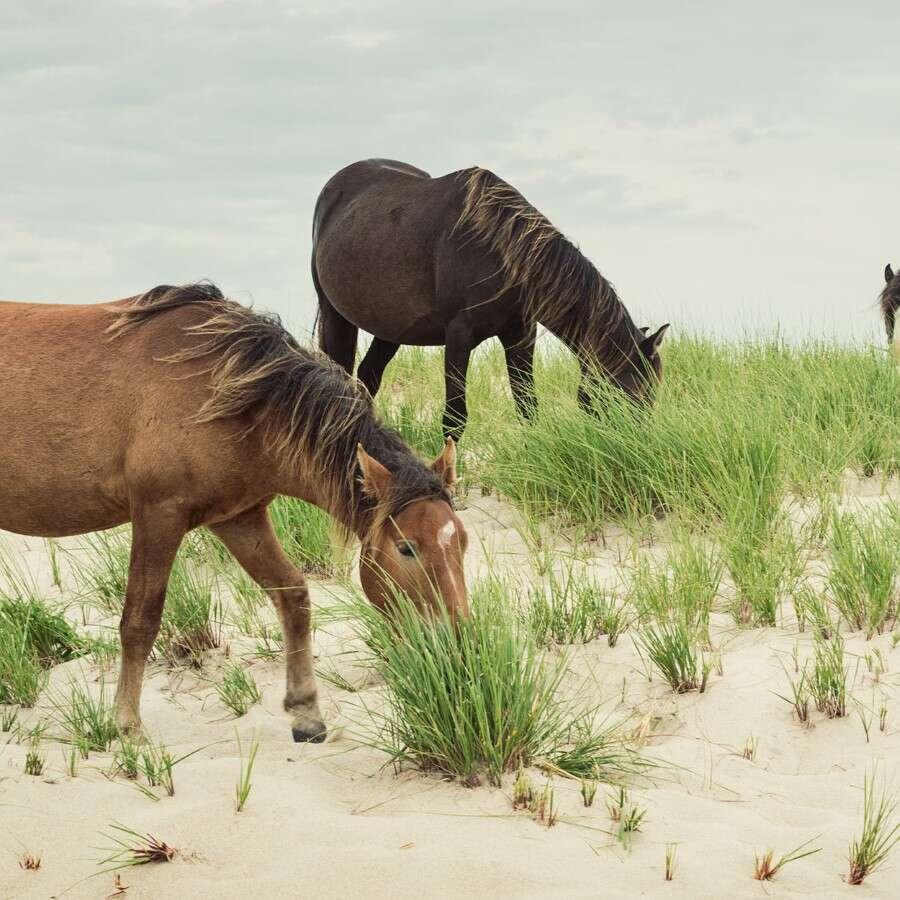 Wild Horses, gray seals, and sandbars   - Sable Island, Canada