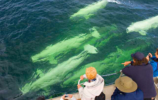 Fall in love with the beautiful, adorable Beluga Whales who also enjoy spending summer in Churchill.