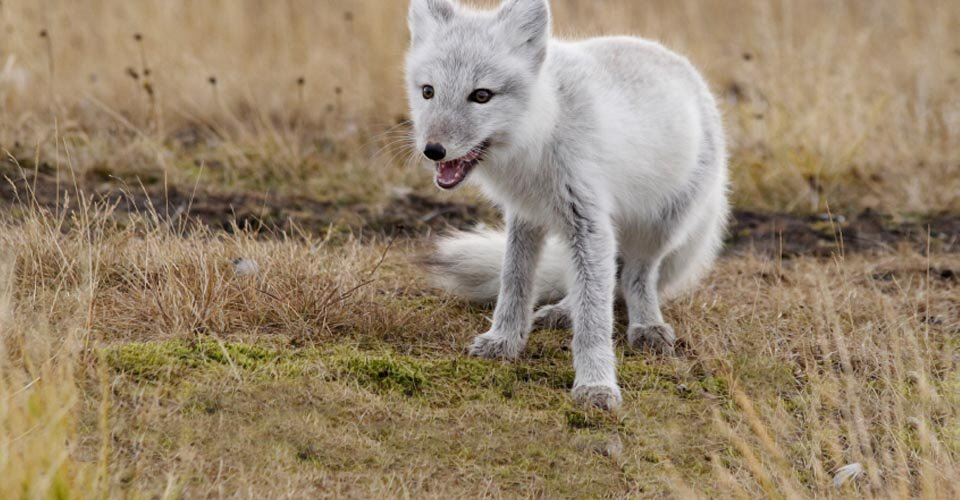 Climb aboard your Arctic Crawlers to explore the Tundra. See animals such as the Arctic Hare and Arctic Fox on this amazing tour of Churchill, Manitoba.